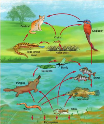 Feral Cats Food Web